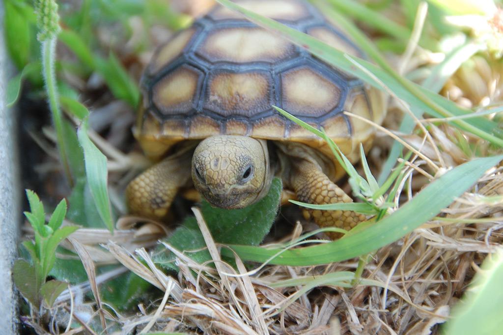 Gopher Tortoise.