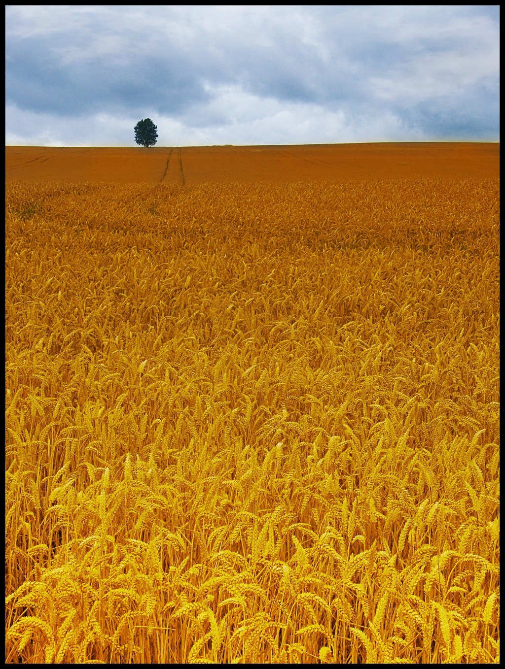 Lone tree in the midst of cornfields.