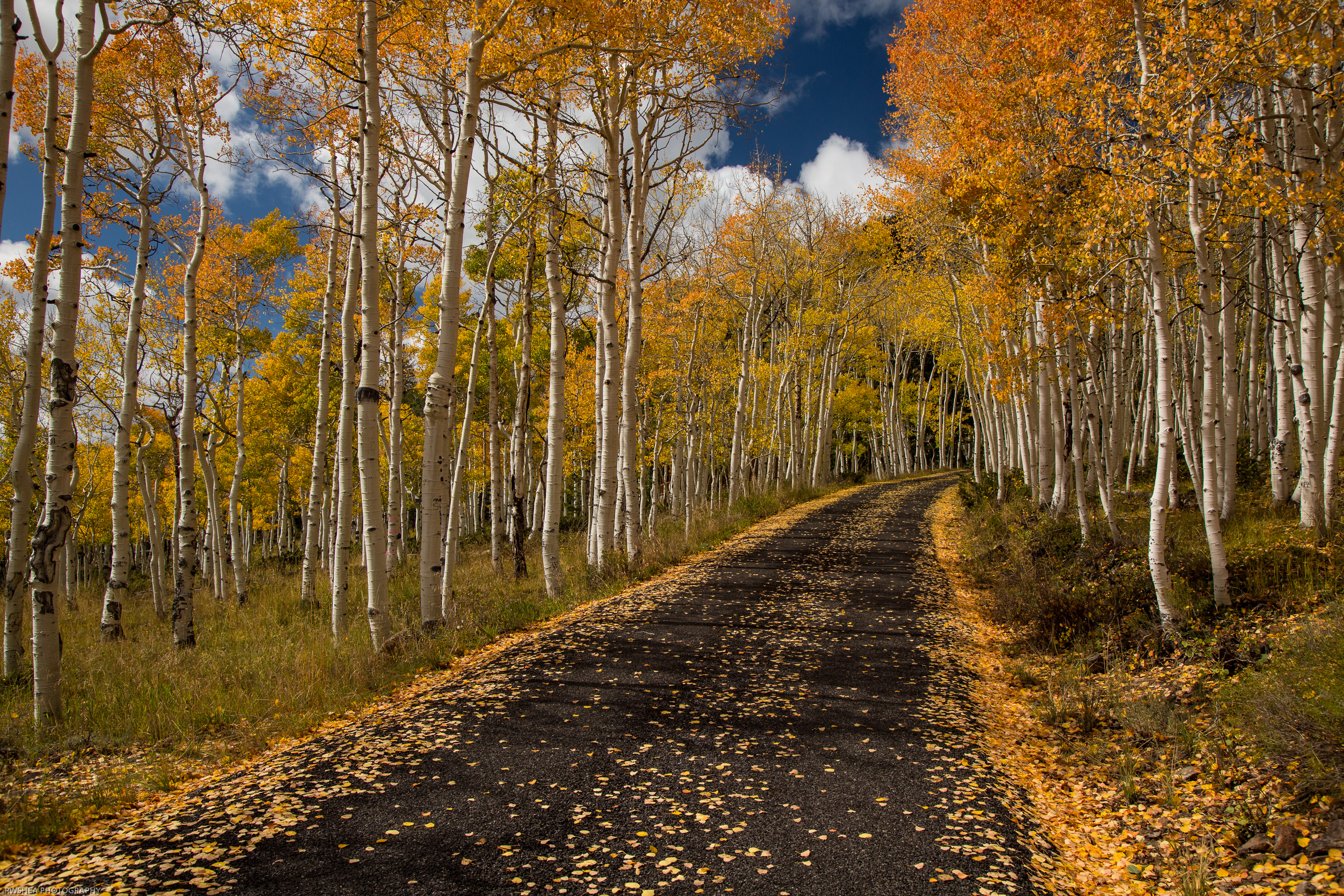Believe it or not, the aspens on both sides of this road are all one tree. Credit: Robert Shea via Flickr.
