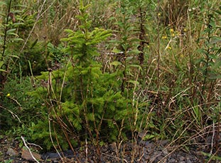 2-year-old red spruce sapling