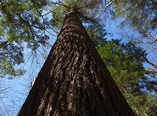 Saheda white pine
