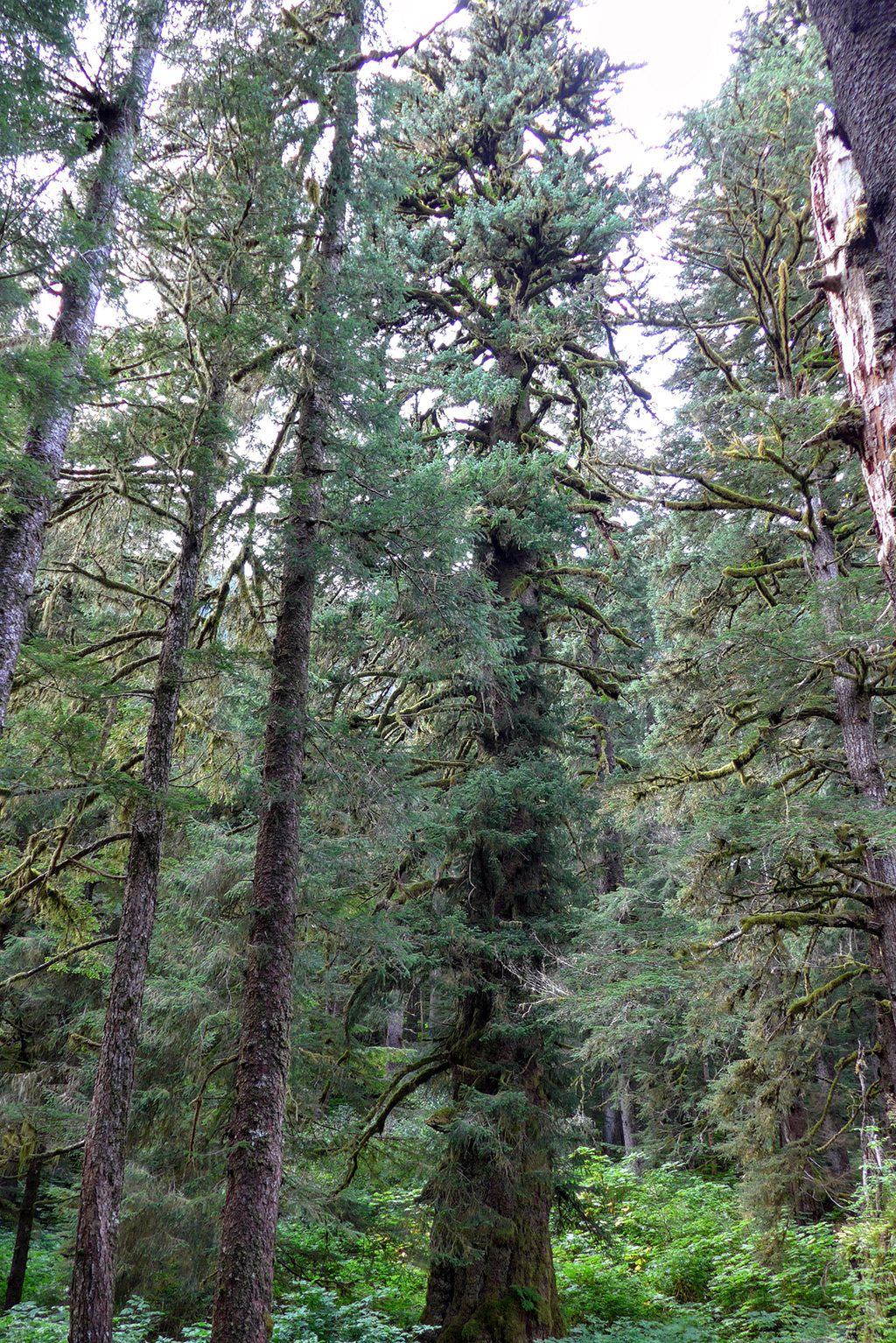 "The massive spruce dwarfing the ""large"" old-growth spruce trees around it."