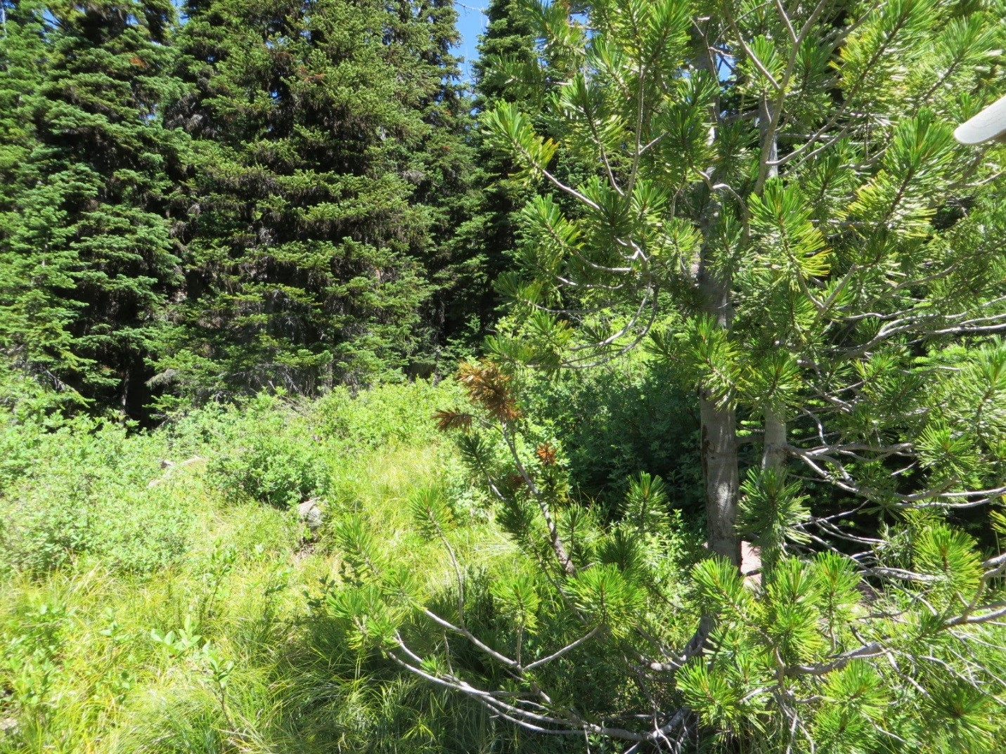"Whitebark pine tree with the ""red flagging,"" a symptom of blister rust infection."