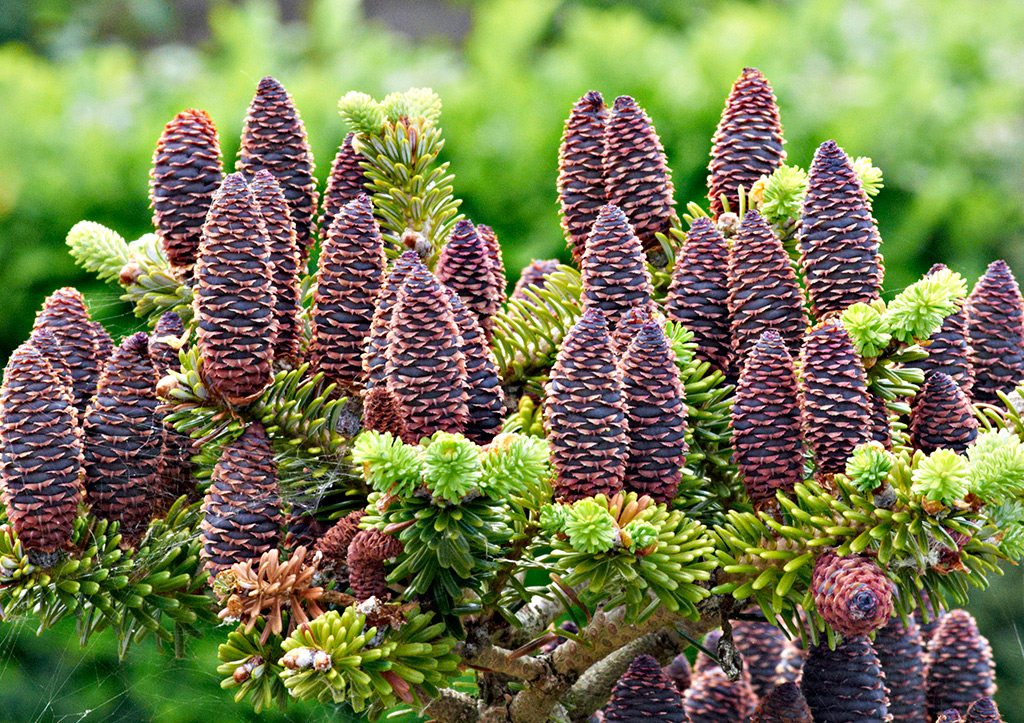 Korean Pine Cones