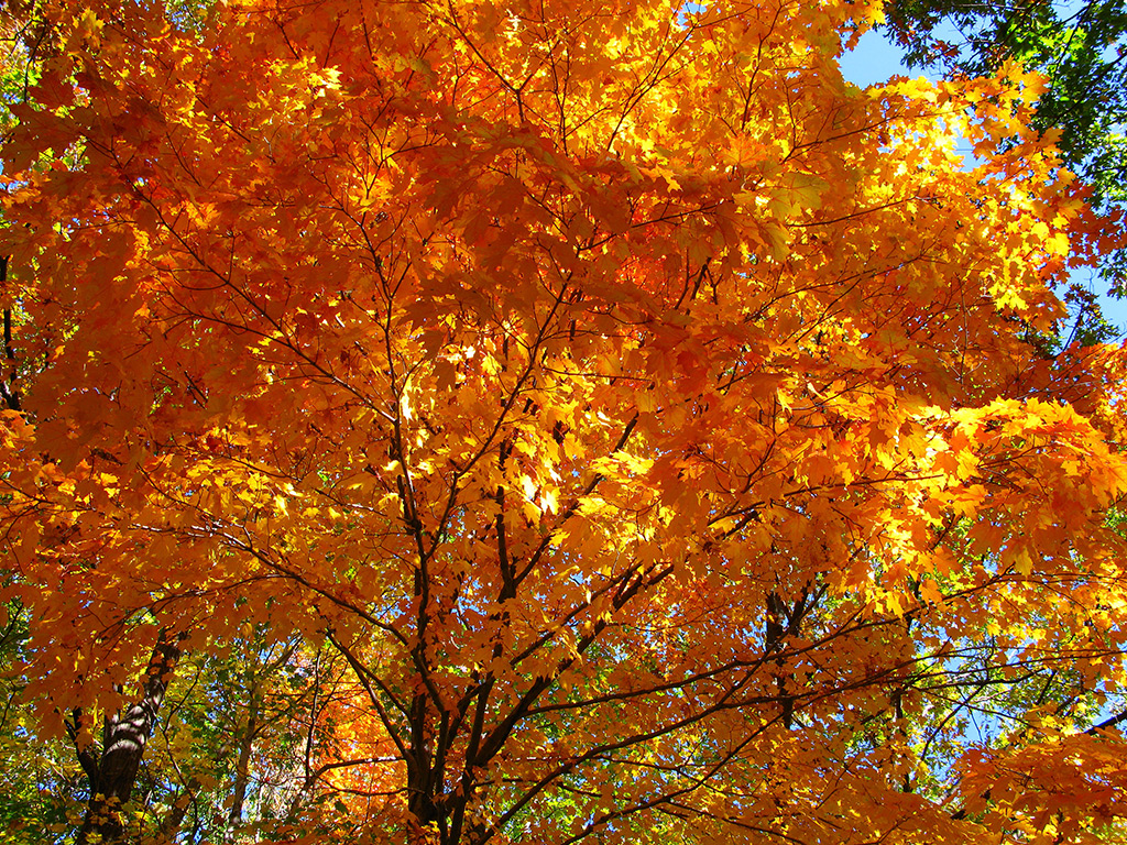 Fall Sugar Maple (Acer saccharum)