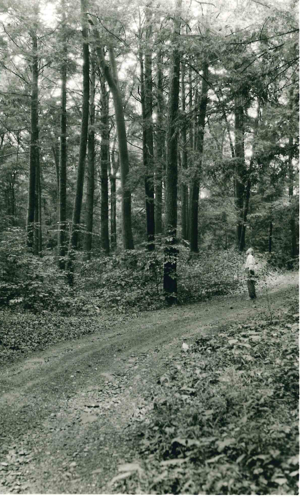One of the several miles of woods roads which FDR loved to ride on his vacation trips to Hyde Park.