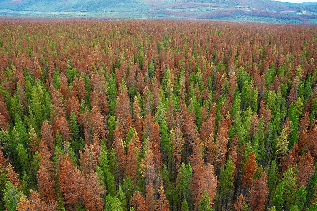 Mountain Pine Beetle Devastation
