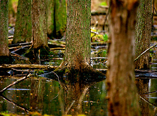 Trees in bog