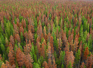 Mountain Pine Beetle Devastation
