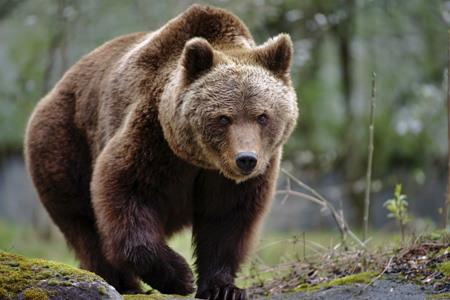 A grizzly bear, which is a species listed through the Endangered Species Act.