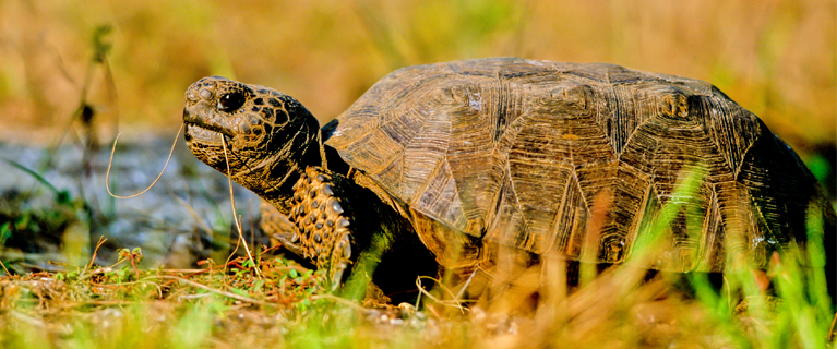 Endangered Gopher Tortoise eats grass on the Atlantic coast of F