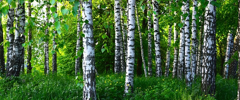 Nature Forest Grove Landscape Spring Birch Greens