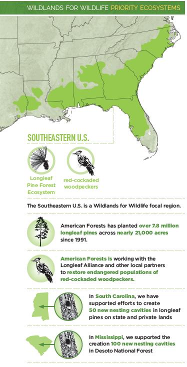 Longleaf Pine Infographic