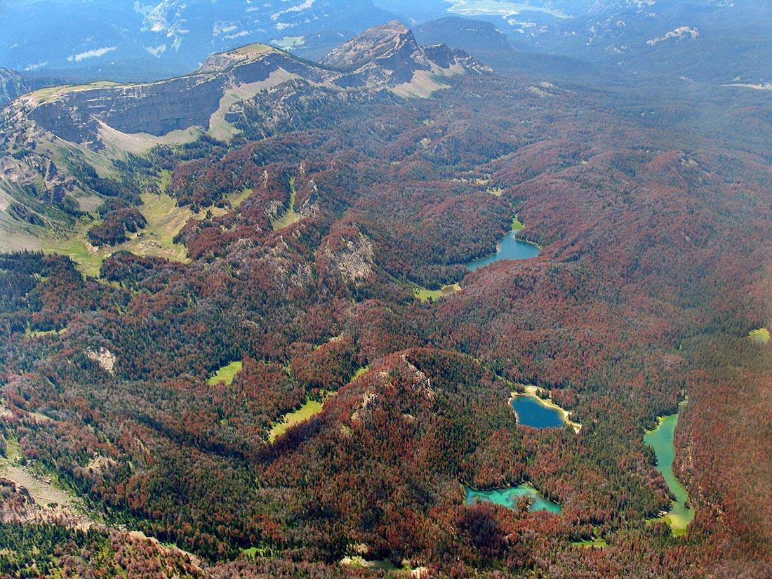 Mountain pine beetle damage