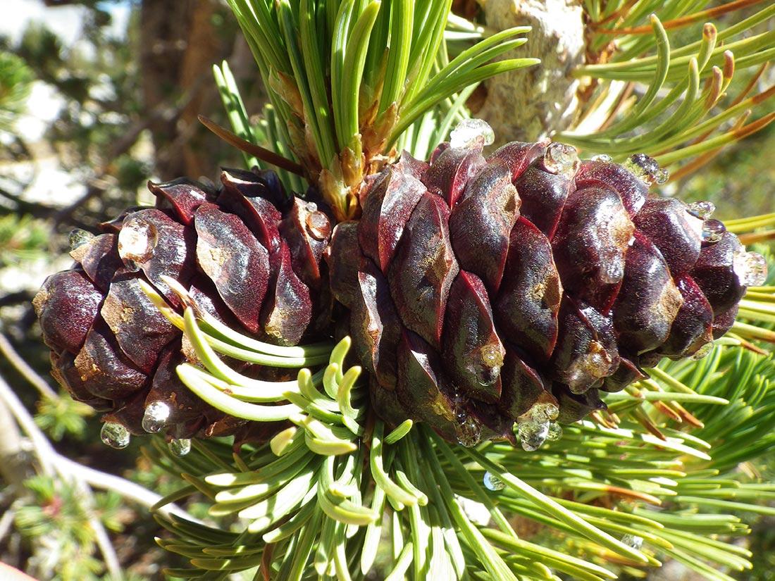 whitebark pine cone