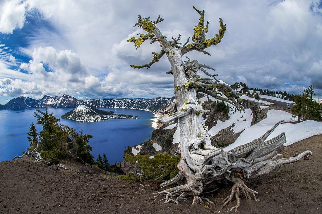 Whitebark pine at Crater Lake.