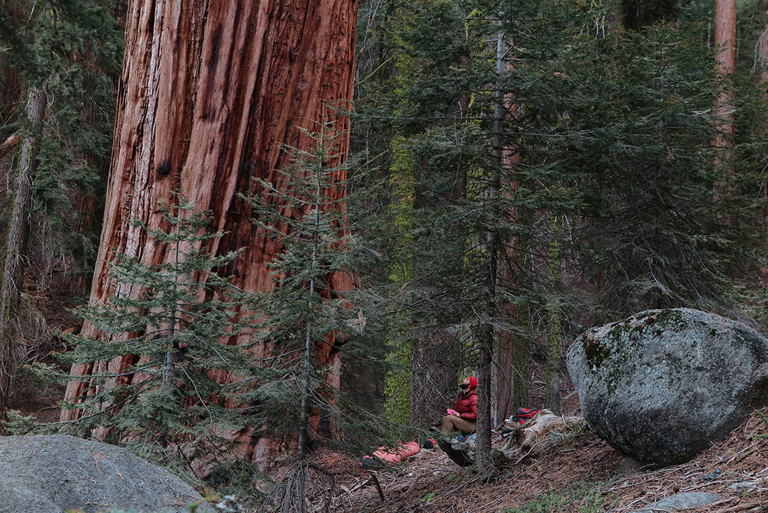 Williams admiring a giant sequoia.