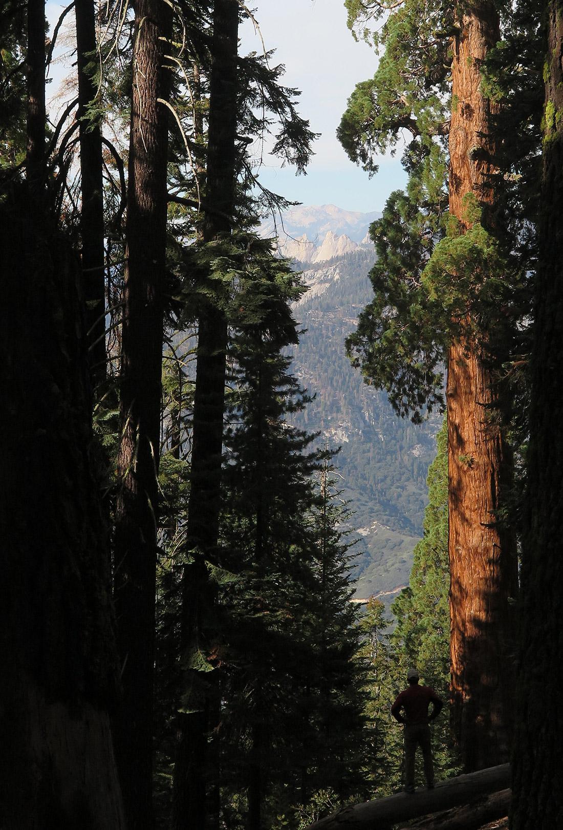 Sequoias towering over Williams;