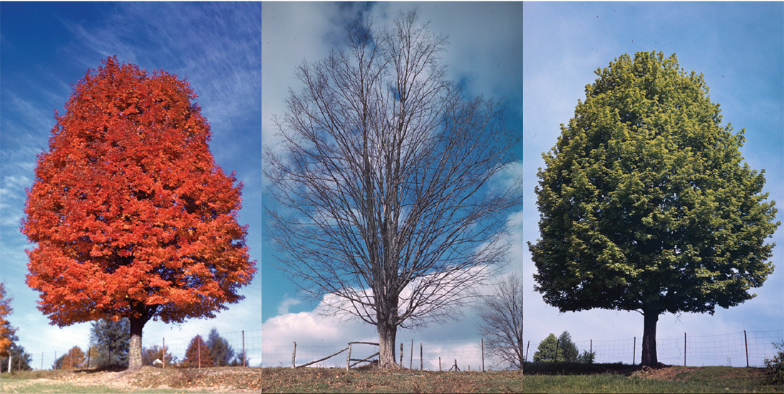 Seasonal maple trees