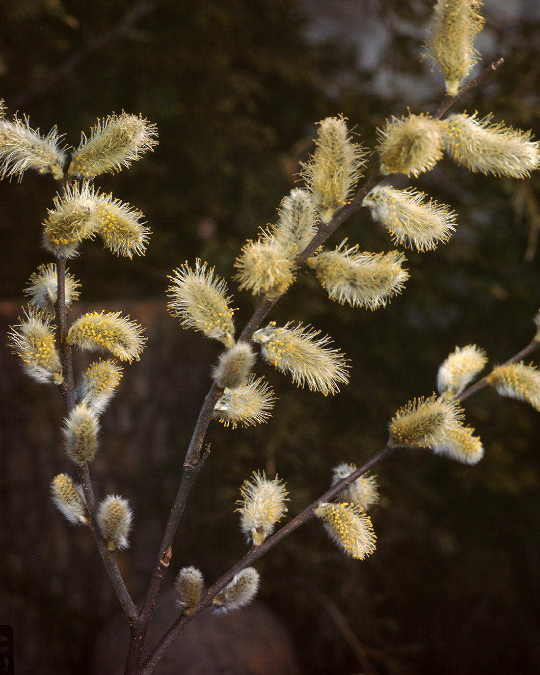 Mature catkins of a willow