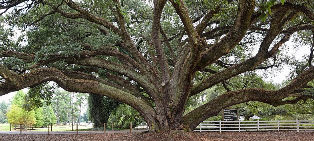 The Edna Szymoniak Oak