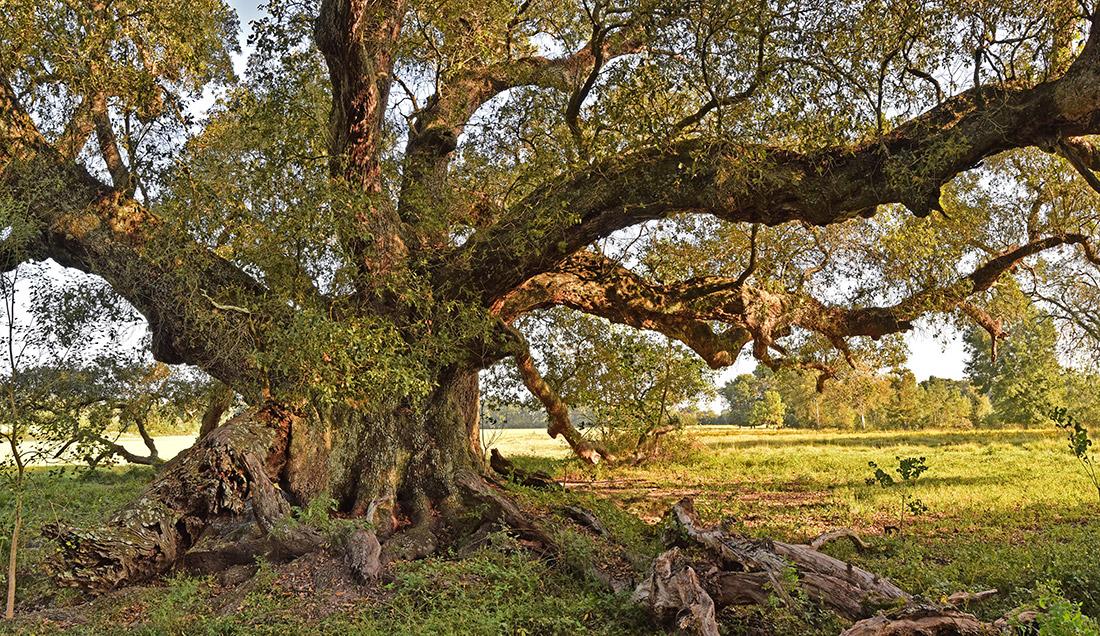 La Belle Colline Oak