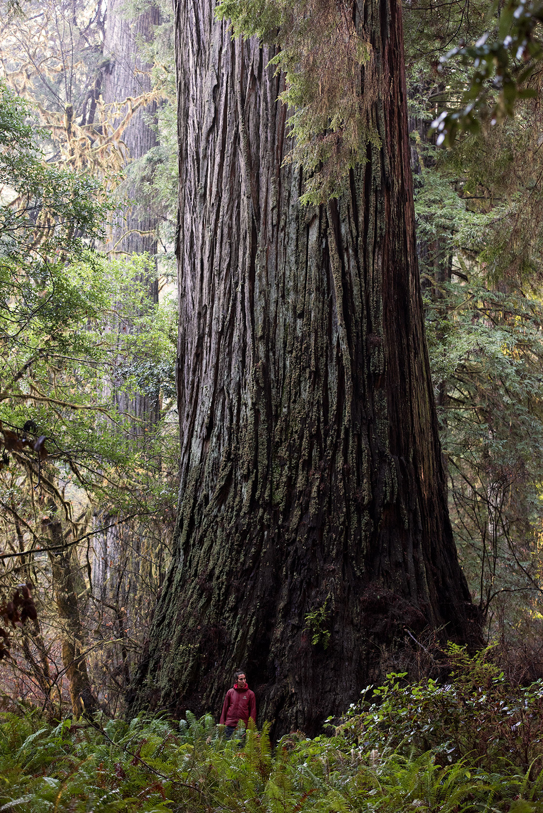 The National Co-Champion coast redwood