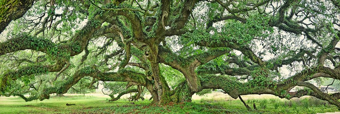 The Lorenzo Dow Oak