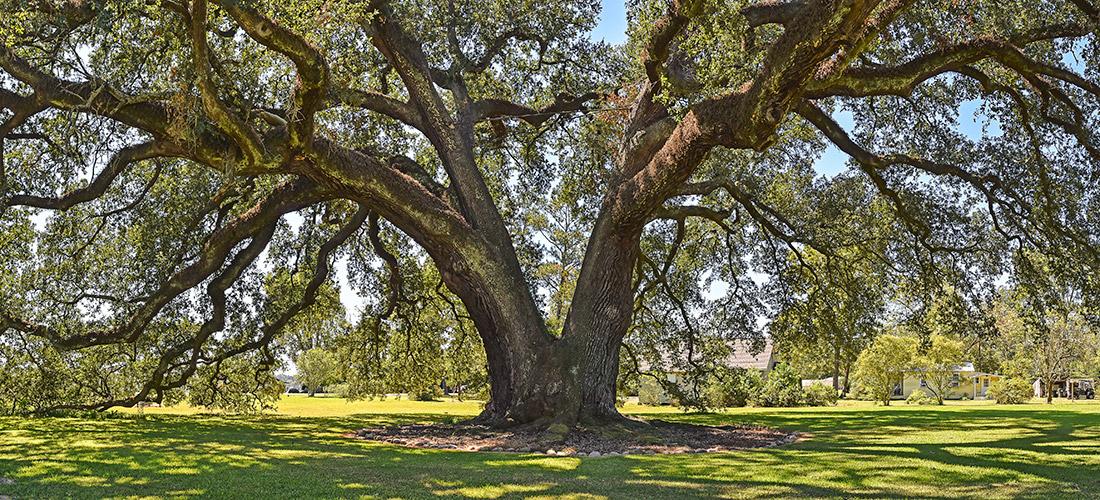 Randall Oak