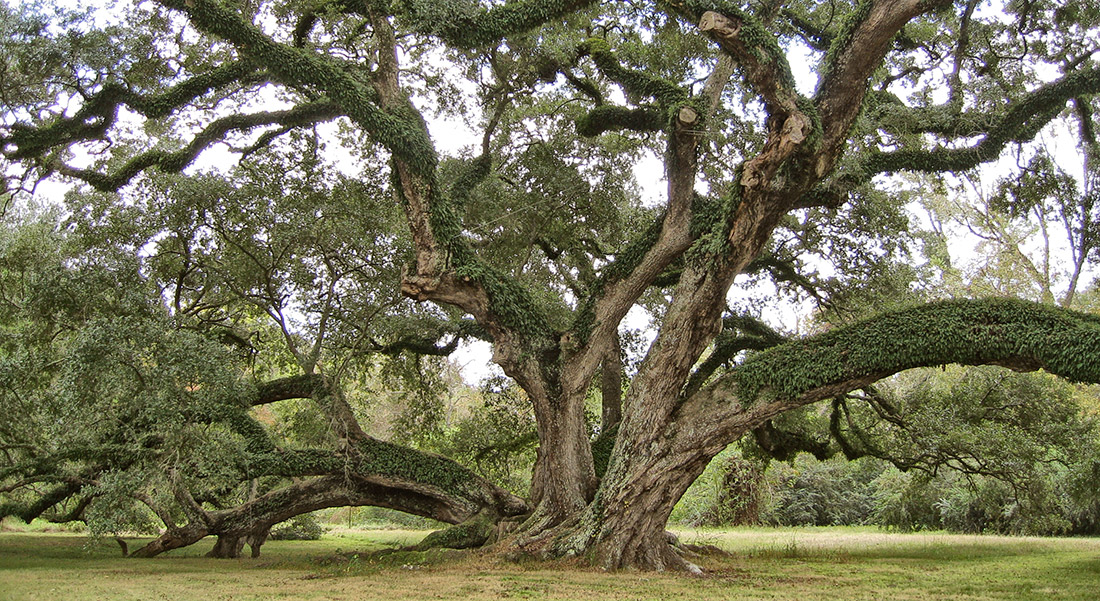 The Seven Brothers Oak