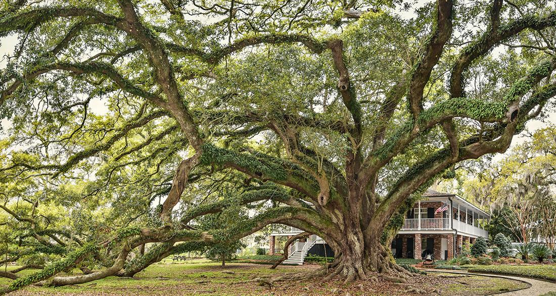 The Seven Sisters Oak
