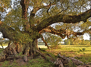 La Belle Colline Oak