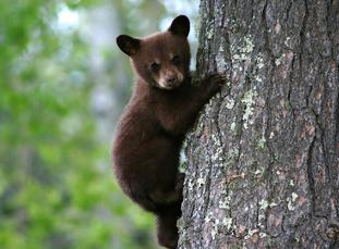 cub on tree