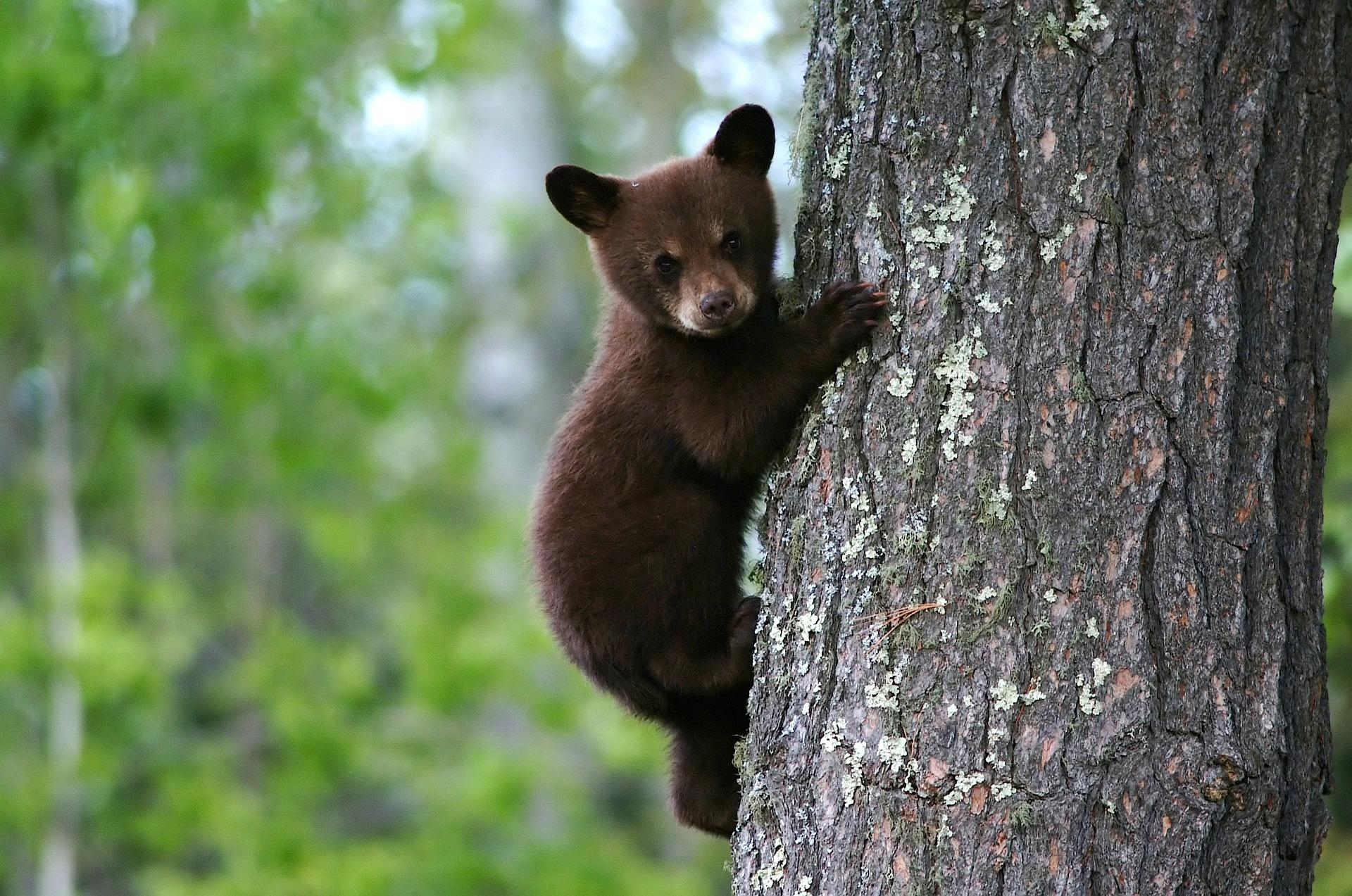 baby bear on tree