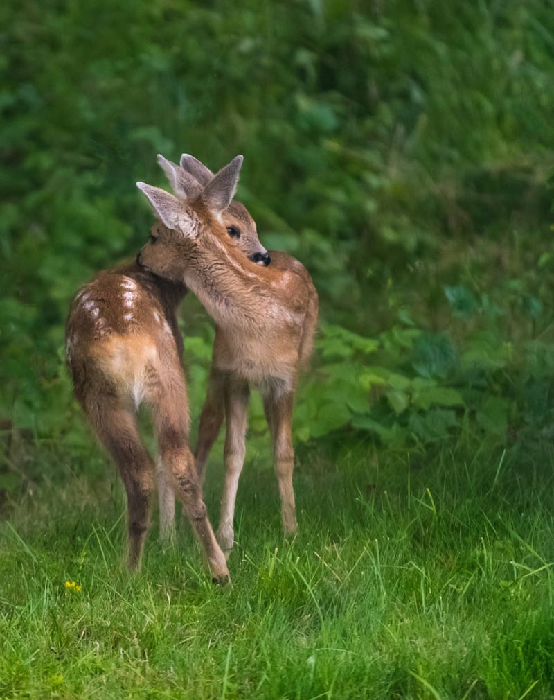 two fawns