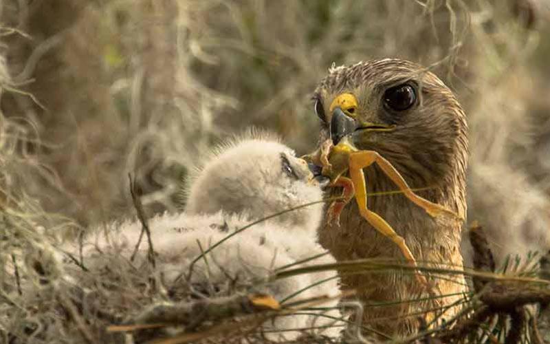 bird feeds offspring a frog