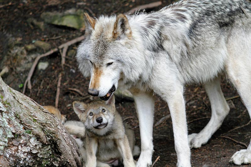 wolf baby and mama