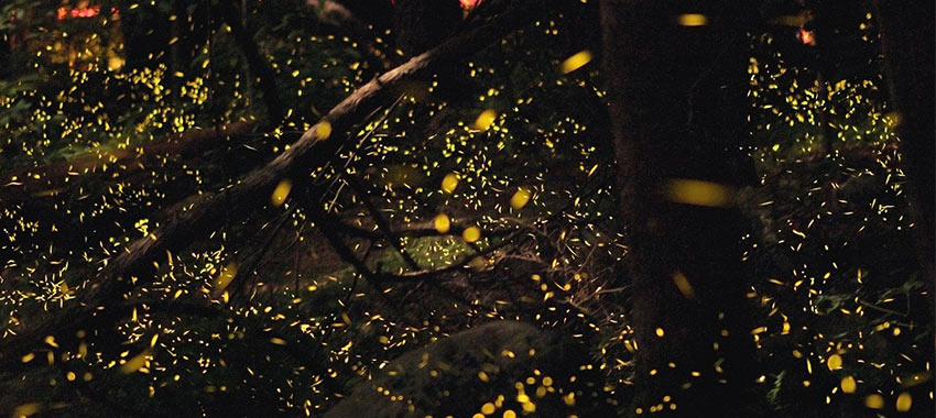 Elkmont Synchronous Fireflies.