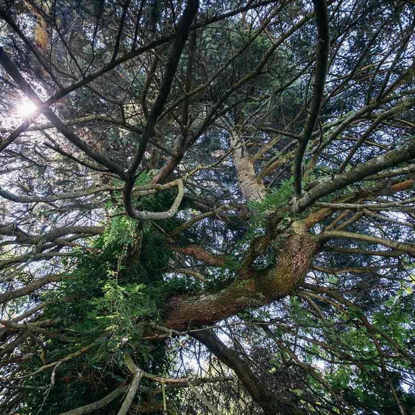Balsam Fir canopy