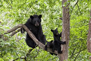 bears in tree