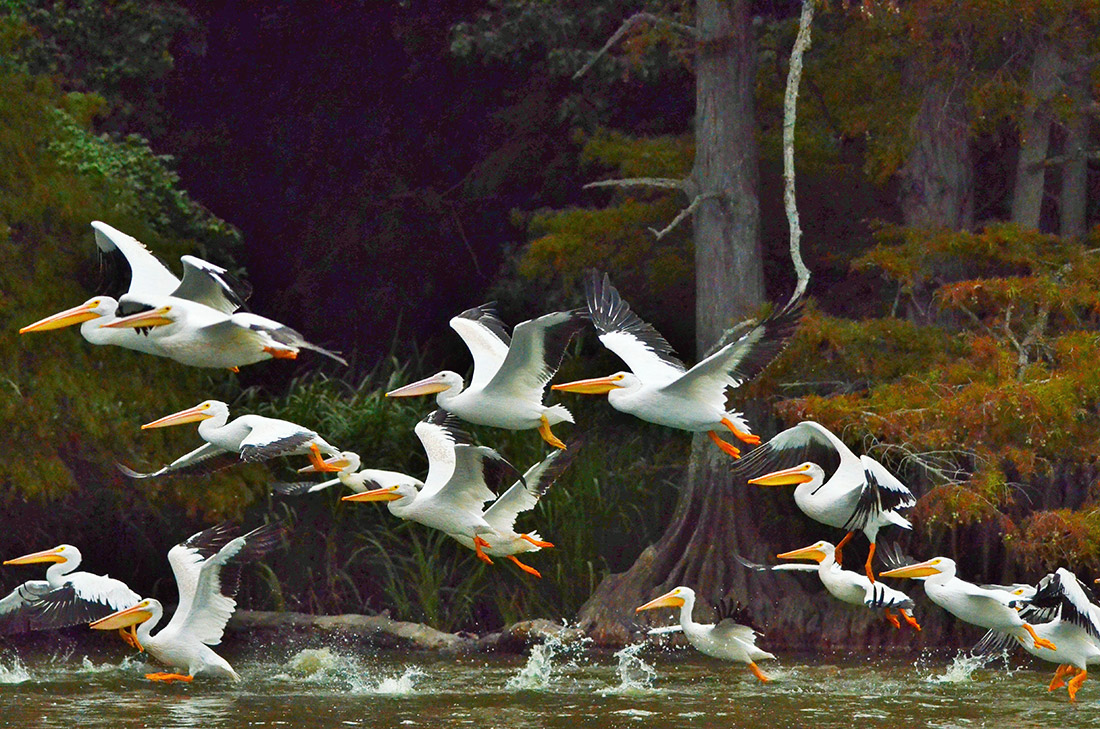 While not on their historic migration route, pelicans have visited Reelfoot Lake for about the last 15 years.