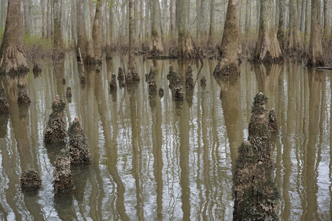 Cypress knees, a symbol of the swamp, provide a unique obstacle for kayakers.