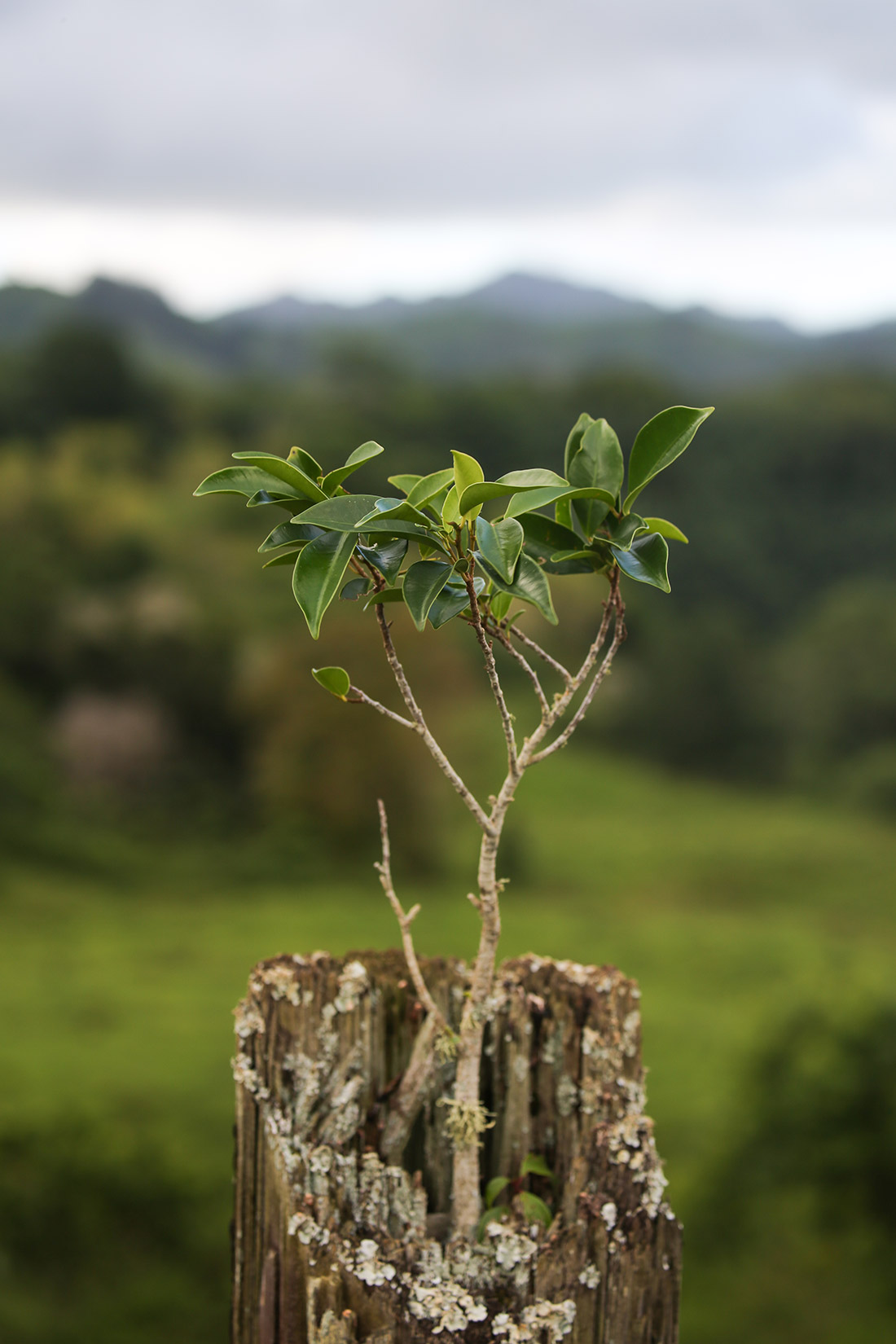 Young Tree Growing in Fence Post, Kaua'i by Isis Clark Hunter