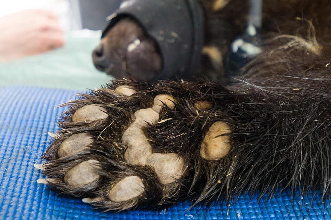 The wolverine's paw is designed for long-distance travel on snow and ice.