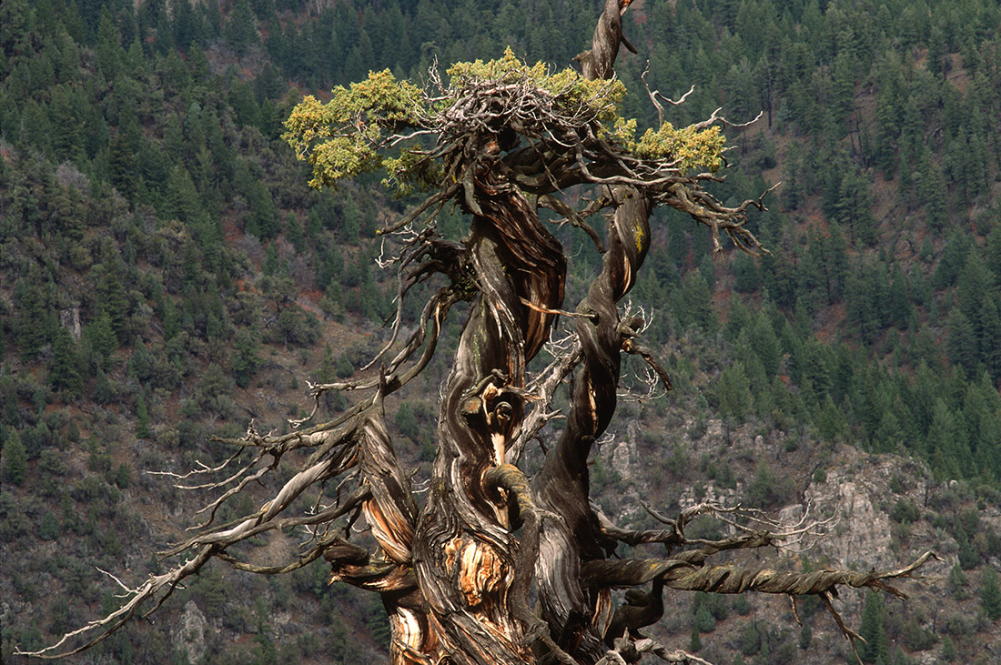 Rocky Mountain Juniper