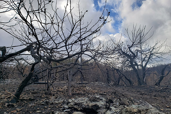 Dozens of MacNab cypress trees were killed on a ridge outside Paradise, Calif., during the November 2018 Camp Fire, releasing their seeds from cones that require high-intensity fire to open.