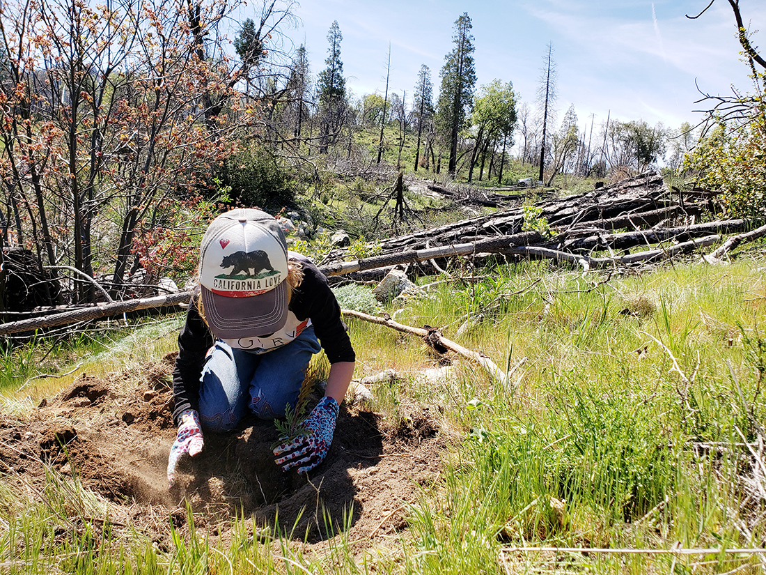 A 7-year- old California native plants seedlings in the midst of a fire scare in the Sierra Nevada mountains, just a small example of the way in which California is being catalyzed.