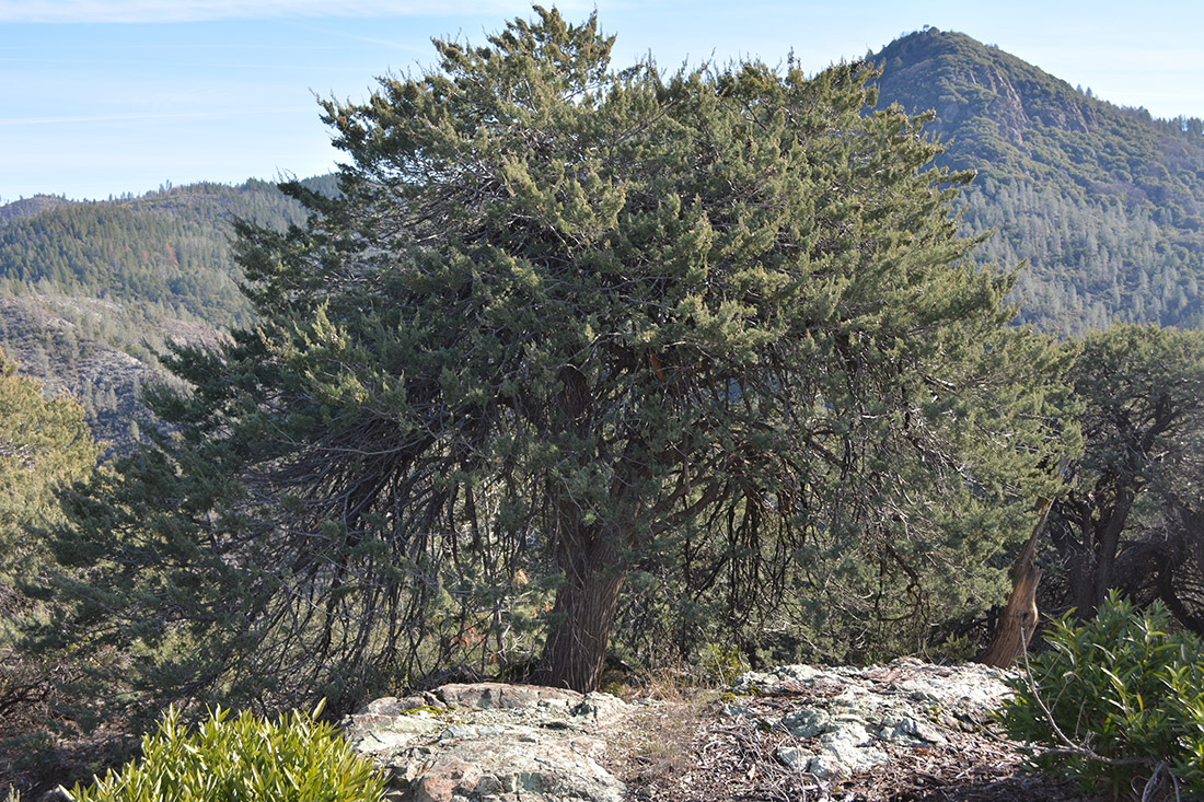 A MacNab cypress tree grows near Paradise, Calif., prior to the Camp Fire.