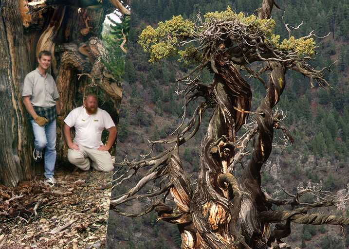 bristlecone pine champion tree american forests 2