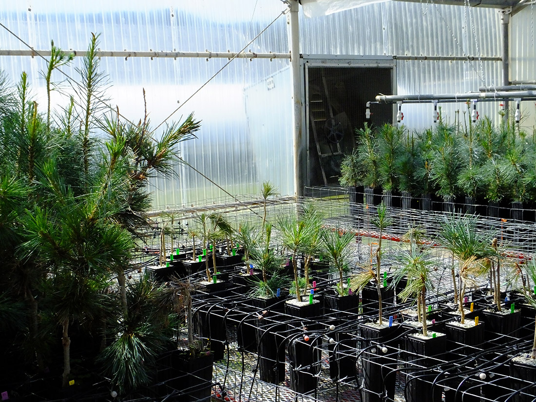 Saplings in nursery